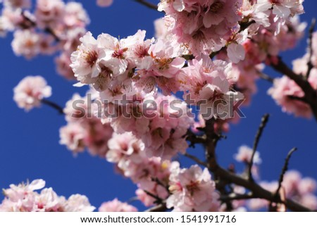 Almond blossoms, cherry blossoms (close up)