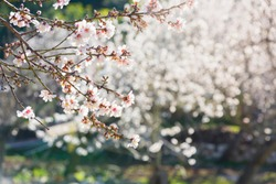 Almond blossoms in a rural landscape