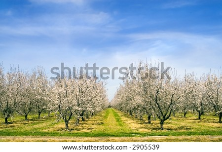 Almond blossoms in Spring.
