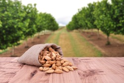 Almond concept with copyspace area. Almond nuts with shells, they are in rustic jute sack bag. Almonds are on wooden table. Empty area for text copy space. Background is almond tree.