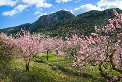 Almond orchard in blossom, Alicante , Spain