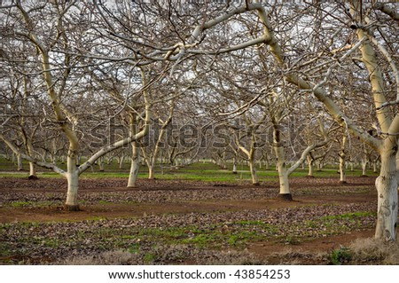 Almond Orchard with bare trees in Winter