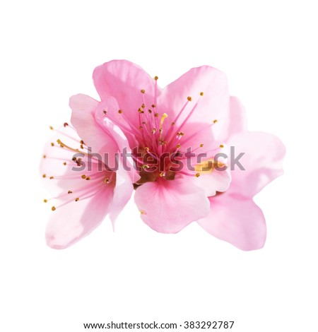 Almond pink flowers isolated on white background. Macro, closeup shot #383292787