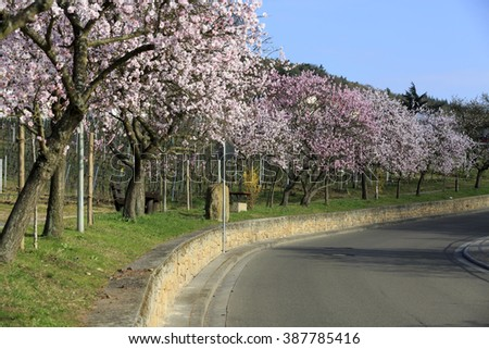 almond tree blooming ez canvas