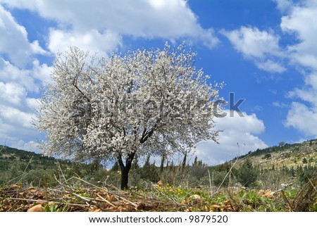 almond tree blooming in the galilee israel finerworks