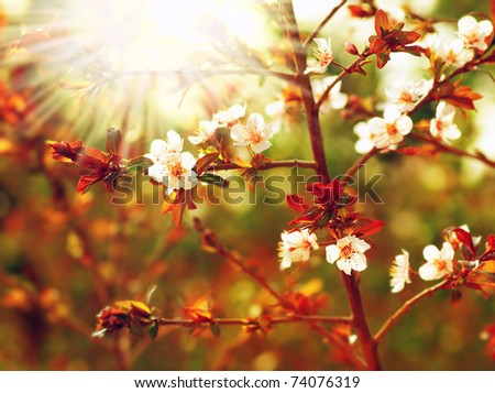 Almond tree blossom at spring over green natural background with sun light