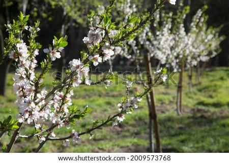 Almond Tree Blossom, Quinta de los Molinos Park; Madrid; Spain Foto stock ©