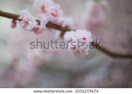 Almond tree flowers close up. Mild focus.