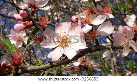 Almond tree with flowers.