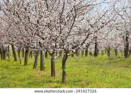 almond trees blooming at springtime ez canvas