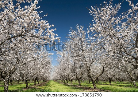 Almond trees blooming in orchard against blue Spring sky