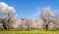 Almond trees blooming in orchard against blue, Spring sky. Datca, Mugla, Turkey