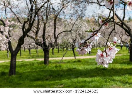Almond trees in bloom in the public park of Quinta de los Molinos in Madrid Foto stock ©