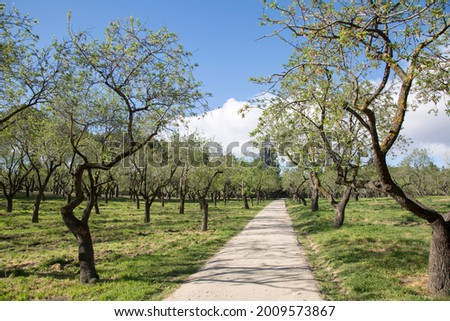 Almond Trees in Quinta de los Molinos Park, Madrid, Spain Foto stock ©