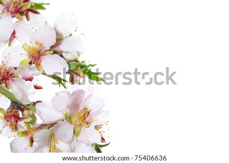 Almond white flowers isolated on white background
