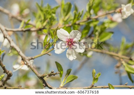 almonds flowers macro details for background spring time