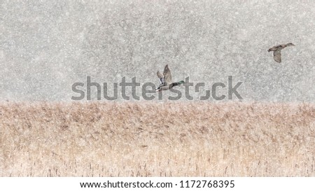 Almost monochromatic image of two ducks flying into a snowy blizzard above a sea of yellow reeds #1172768395