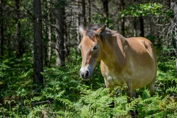 Almost wild - Gotland pony grazing in the forest at Lojsta heath. These horses, also called Gotland russ, belong to the only semi-feral breed in Sweden.