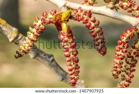 Alnus serrulata, the hazel alder or smooth alder.