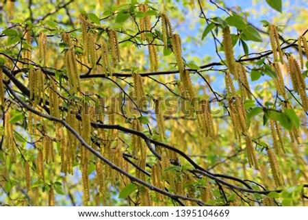 Alnus Serrulata, the Hazel alder or Smooth alder.  Family: Betulaceae.  #1395104669