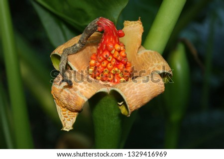 Alocasia (Elephants Ears) leaves and red ripe seeds. #1329416969