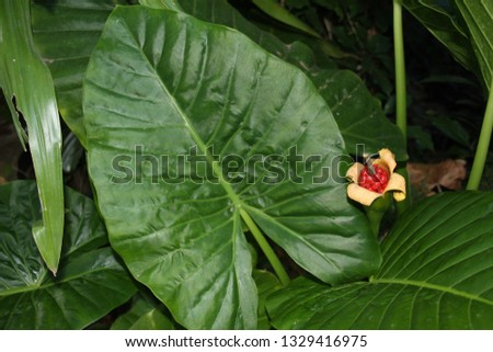Alocasia (Elephants Ears) leaves and red ripe seeds. #1329416975