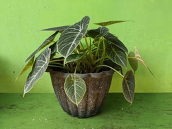 Alocasia reginula black velvet in pots, elephant ear or kris plant