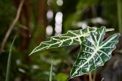 Alocasia sanderiana Bull in pot ,Closeup shiny leaves veins pattern of Kris plant (Alocasia Sanderiana Bull).Alocasia bambino leaf