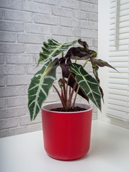 Alocasia Sanderiana, commonly known as the kris plant, is a genus of broad-leaved rhizomatous or tuberous perennial flowering plants from the family Araceae.