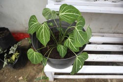 Alocasia sanderiana, commonly known as the kris plant, is a plant in the family Araceae. It is endemic to Misamis Occidental and Bukidnon, in the Philippines.