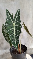 Alocasia sanderiana, commonly known as the kris plant, is a plant in the family Araceae. It's genum Alocasia and family Araceae