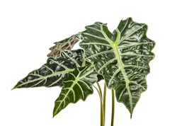 Alocasia sanderiana leaves, Kris plant, Exotic tropical leaf, isolated on white background with clipping path