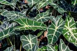 Alocasia sanderiana plant or Kris plant in a garden.Kris plant leaves background.