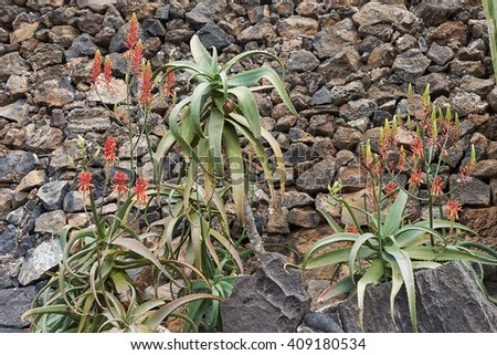 Aloe arborescens Photo stock ©