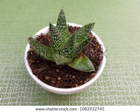aloe aristata cactus, in small white pot for decoration, with light green background