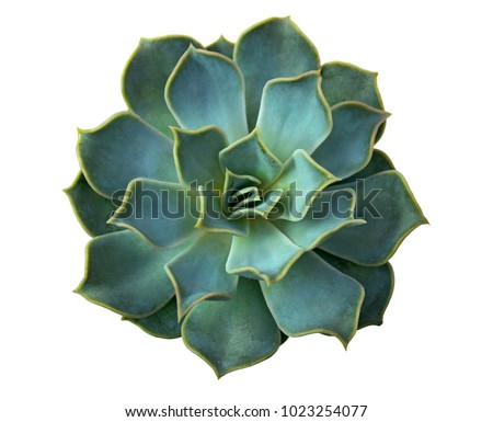 Aloe cactus succulent plant isolated on white. Macro of aloe succulent in pot. Close up of cactus succulent for flower shop design as green background. Arrangement with aloe or cactus landscape design