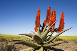 Aloe Ferox plant with background of rapeseed, Garden Route, South Africa. Aloe Ferox is used in many medicines and skin care products.