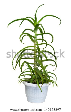 aloe houseplant - stock photo