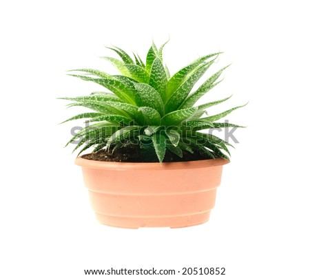 aloe in pot isolated on white background