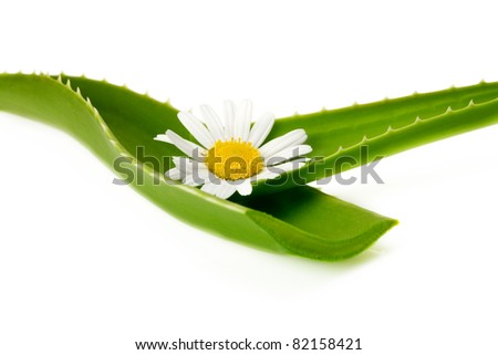 aloe leaf with flower
