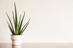 Aloe plant in design vintage pot and white wall mock up