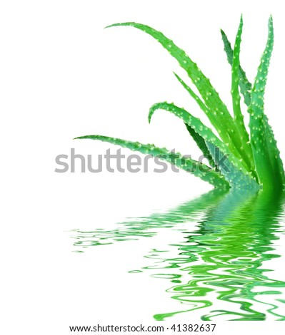 Aloe vera cactus fresh green leaves isolated reflection