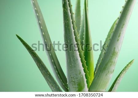 Aloe Vera closeup. Aloevera plant, natural organic renewal cosmetics, alternative medicine. Aloe Vera leaf close-up. Skin care concept, moisturizing. On green background.  Photo stock ©