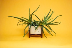Aloe Vera in mid century pot with Yellow sweep and hard flash