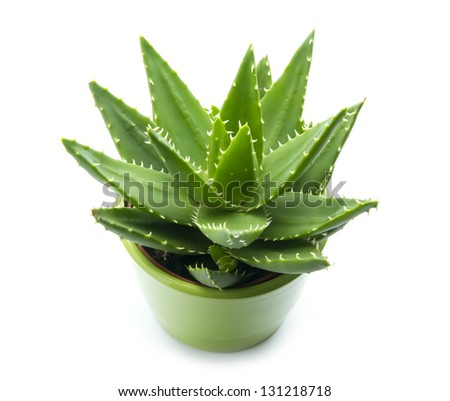 Aloe vera in pot isolated on white background stock photo 131218718 shutterstock - Aloe vera en pot ...