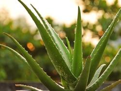 Aloe vera on a green background.