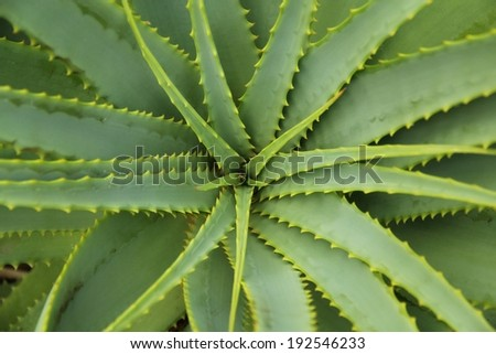 Aloe Vera - Plant cactus top down from above #192546233