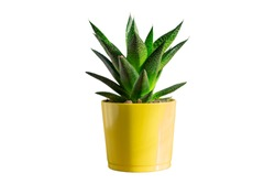 aloe vera plant in yellow ceramic pot isolated on white bacgronjd