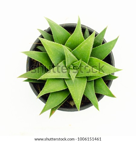 Aloe vera plant isolated on white backgrounds , top view cactus&succulent