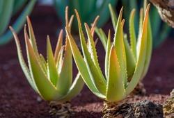 Aloe vera plantation, cultivation of aloe vera, healthy plant used for medicine, cosmetics, skin care, decoration